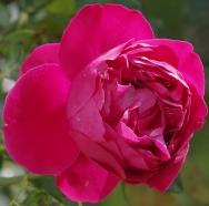 Шрабы Eric Taberly (Red Eden Rose) (Эрик Табели)