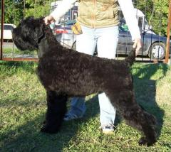 Puppies of the Russian Black Terrier