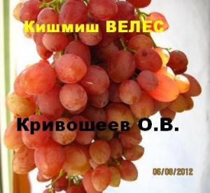 Саженцы винограда (посадочная материал)Привитые