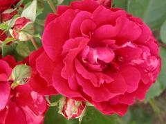 Роза Champlain (ІТЯ-83)