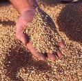 Средства защиты зерновых растений от болезней