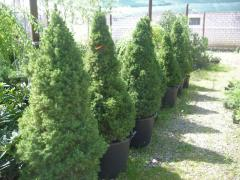 """Fir-tree of """"Conica"""" in a pot of"""