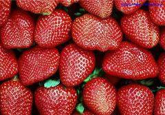 Saplings of strawberry of a grade of Honey Polk of