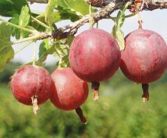 Grade gooseberry saplings Kolobok Northern captain