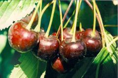 Sweet cherry saplings one-year grades Annushka