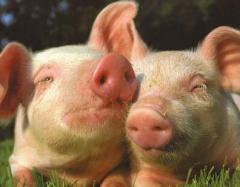 Комбикорма для свиней от производителя