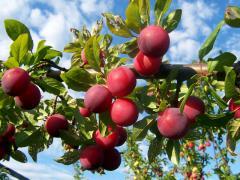 Plum saplings Grade Alyonushka Alycha Hollywood