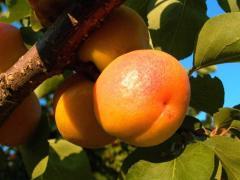 Саженцы абрикоса Сорт  Ананасный Краснощекий