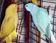 Ожереловые ручные попугаи. Птенцы - выкормыши