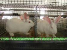 Кролики чистопородные Hyla (Франция) и Термонская белая породы