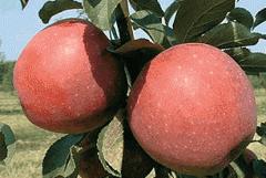 Саженцы яблони Ремо, Ревена, Реглиндис, Релинда, Реанда.