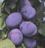 Plum saplings