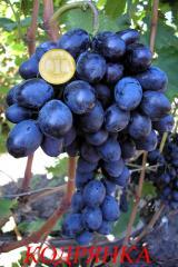 Саженцы и черенки винограда.