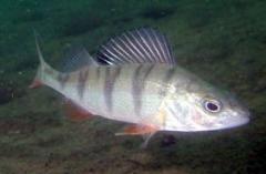 Окунь пресноводная живая и охлажденная рыба. Опт,