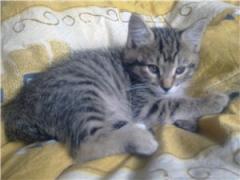 Kittens of Kuril bobtails