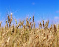 Культуры зерновые в ассортименте. Семенной