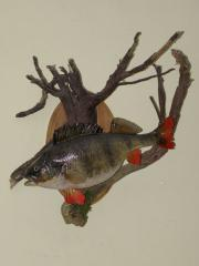 Effigy of the Perch of 2 kg