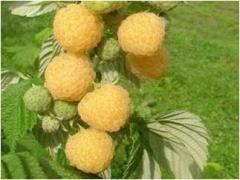 Саджанець малини сорту Порана Роса