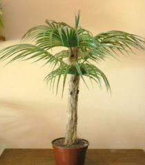 Пальма малая+. Есть ОПТ