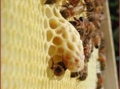 Молочко пчелиное маточное в маточниках