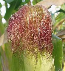Corn rylets