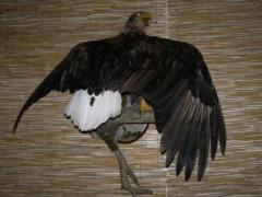 Орлан белохвост
