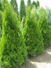 Cheap ornamental plants! Thuja, box, cypress,
