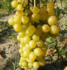 Grapes shanks Marusya, wholesale