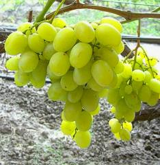 Grapes shanks Muscat Diyovsky, wholesale
