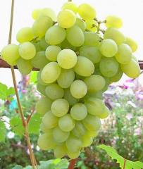 Grapes shanks Muscat noble, wholesale