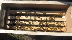 Безстільникові бджолопакети