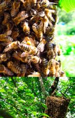 Homogenate of trutnevy larvae - natural proteins