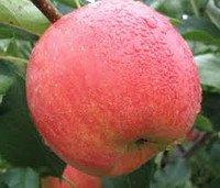Саджанці яблунь зимових Слава Чемпион (зимові)