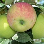 Apple-tree saplings Guarantor (zim і)