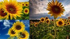 Предлагаем семена подсолнечника «Аурис» под гранстар