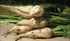 "Seeds of sugar beet hybrid ""Authoritative"" (steady against raundap)"