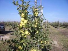 саженцы яблонь