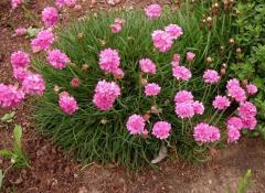 Армерия приморская Розеа (Armeria martima 'Rosea')
