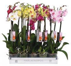 Фалеонопсис Орхидея STAR QUALITY BY 5