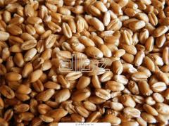 Пшеница продовольственная III класса (белок...