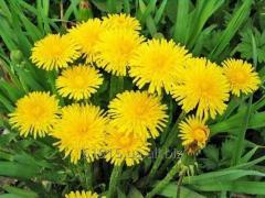 Taraxacum officinale dandelion r