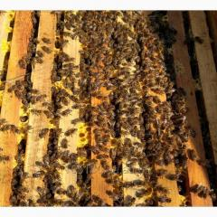 Carpathian breed of bee colonies
