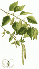 Birch povisly (sheet)
