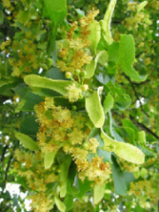 Linden serdtselistny (color)