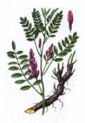 Glycyrrhiza (root)