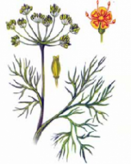 Fennel odorous (seeds)