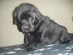 Puppies of the Newfoundland dog of a black color