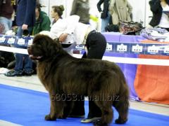 Puppies of breed the Newfoundland dog of a rare