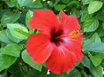 Hibiscus flowers reasonable for tea Flores