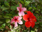 Hibiscus flowers reasonable for tea packages
